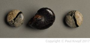 Fossilien Knöpfe